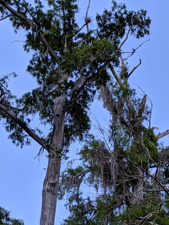 Cypress with Spanish moss on its limbs