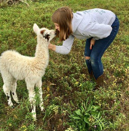 Clover Brooke Farm Llama Alpaca Hikes
