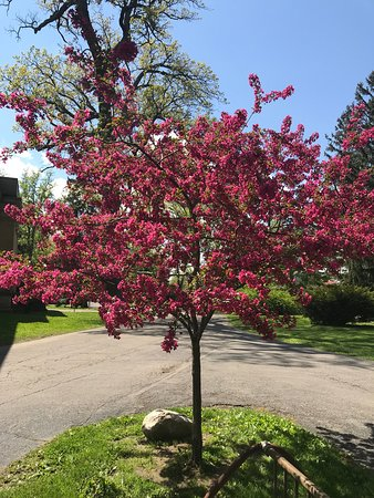 A beautiful tree (Chinese Quince?) blossoming on the Spiegel Grove grounds, May 14, 2019