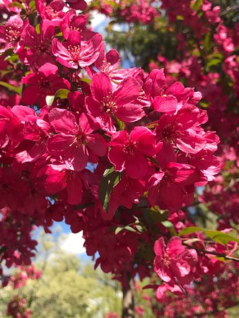 A close-up photo of the flowers of a tree (Chinese Quince?) in the Spiegel Grove grounds