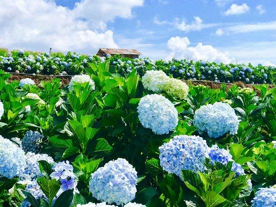 Garden Hydrangeas
