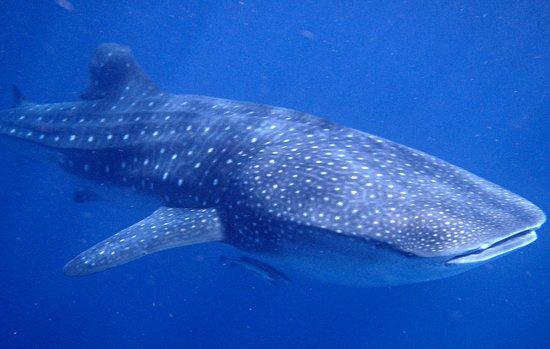 Ningaloo Whaleshark n Dive: Whale Shark