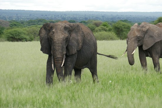 Masumin car hire & safaris: Elephant in Tarangire National Park
