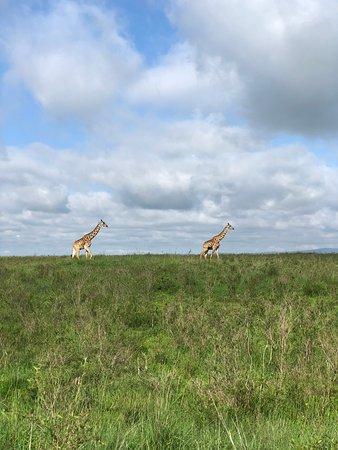 Nairobi National Park Half-Day Tour; Free Wi-Fi connection: Giraffes!