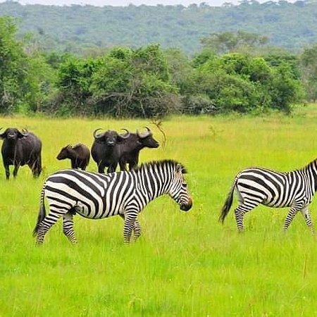 Buffalos and Giraffes at Lake mburo National Park
