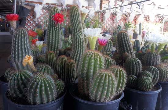 Great selection of cacti