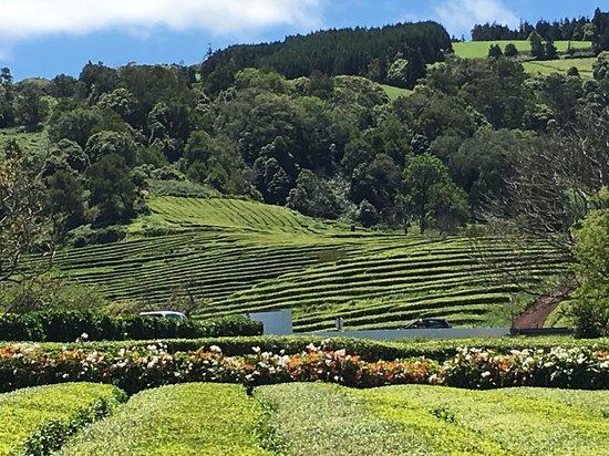 Livramento, Portugal: Tea Plantation. We also saw the pineapple plantation.