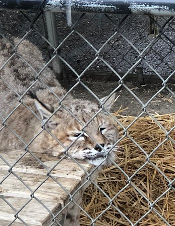 Bobcat or Lynx (what's the difference?)