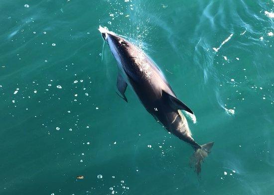 Avistamiento de ballenas, historia y crucero de vida silvestre.: dusky dolphine
