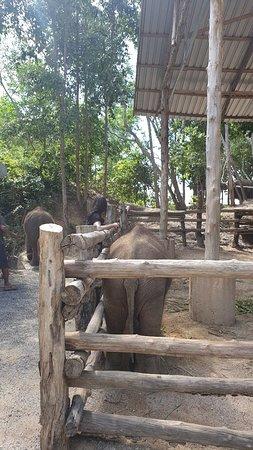 Elephant Retirement Park Phuket: Great seeing the elephants laugh