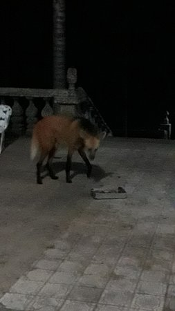 Maned wolf again. I just had my cell-phone for a camera.