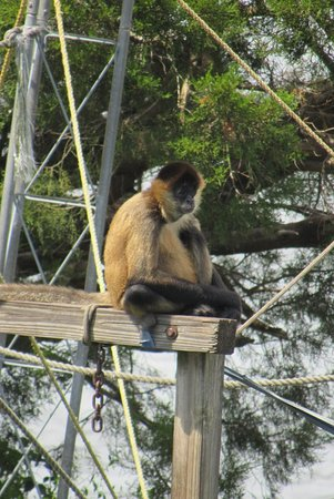 One of the monkeys living on the island