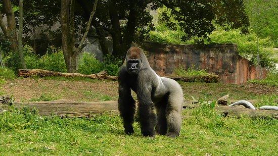 Zoo Atlanta Admission Ticket: Gorilla