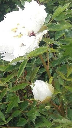 Peonia arborea - Loto bianco e porpora