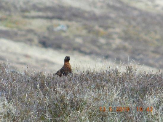 A grouse