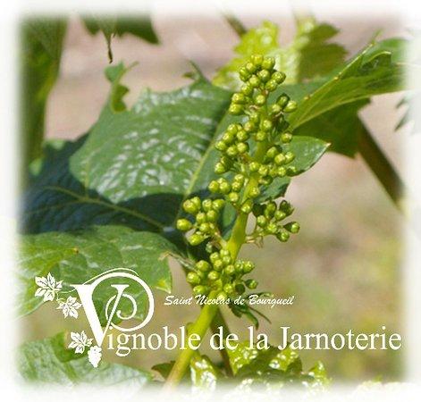 Vignoble de la Jarnoterie: Belle Grappe...tu deviendras...
