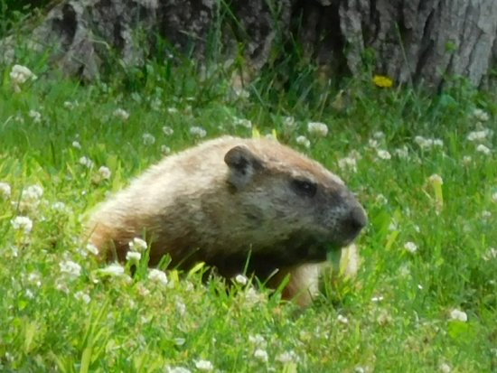 Baladerry Inn : A Groundhog Stopped By