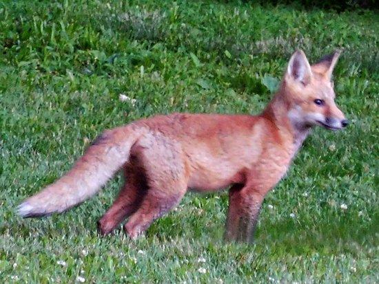 Baladerry Inn : Baby Red Fox