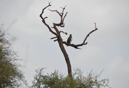 Martial Eagle,one of the largest and powerful eagles in Africa