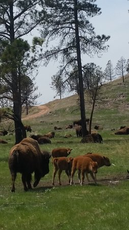Custer State Park is home to one of the largest free-roaming buffalo herds in the world and Black Hills Above and Beyond Tours  knows all the secret back roads to find them!