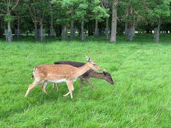 Liam Bourke's Ireland: Deer at Farmleigh Woods