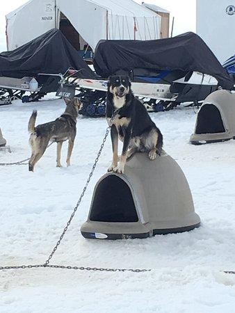 Snowhook Adventure Guides of Alaska: Dog enjoying his downtime. 