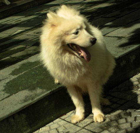 Perhaps the only Samoyed in Vietnam hangs out at the shoe shop next to Tuo'ng Tailor shop