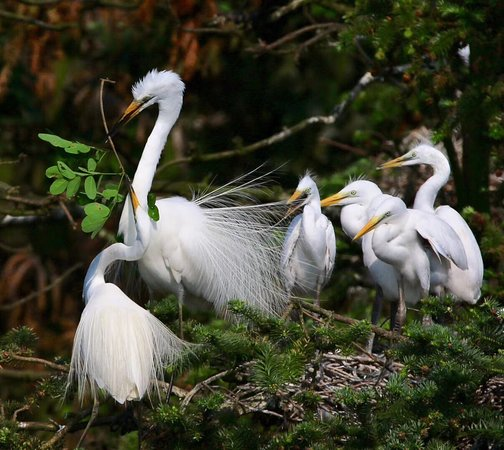 Egrets building a nest with branches.