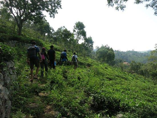 Trek to Kotagiri, Ooty: walk through tea gardens
