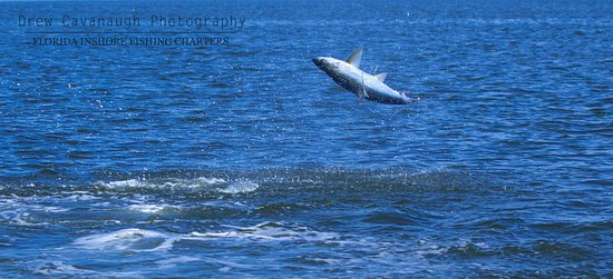 A tarpon hooked up and breaching near Central Florida
