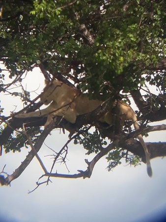 Mikumi National Park, Tansania: It was nice day to support lion on trees dueling the Lening season it's was wonderful karibu tz