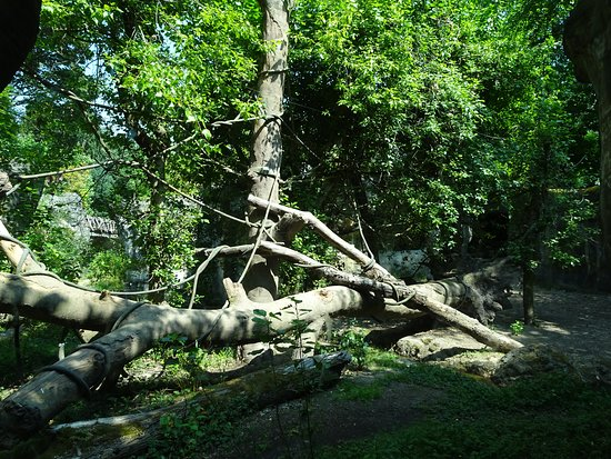 The orangutan enclosure is so realistic at the zoo that it is often difficult to see the animals.