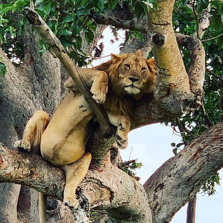 #ongoingsafari #savannahexplore #uganda #Africa #treeclimbinglions #queenElizabethnationalpark #eveninggameviewing