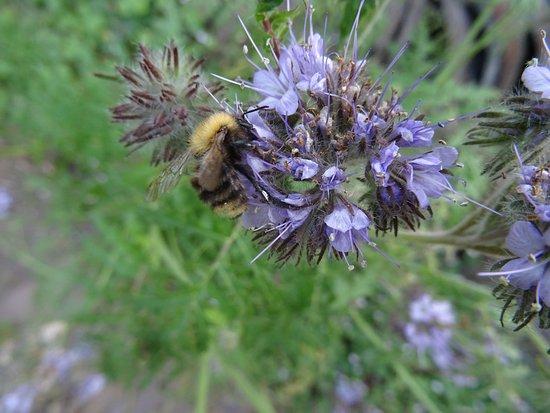 Heusden, Belanda: bijen en hommels