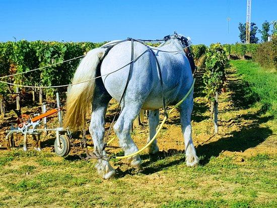 Givat Yeshayahu, Israel: organic wine