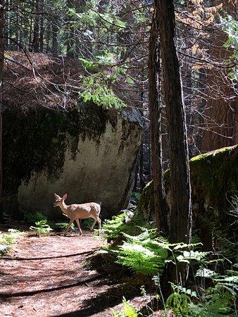 Hume, CA: We saw deer twice on the trail.