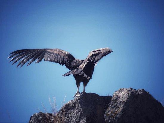Colca Canyon, Peru: Con las alas extendidas pueden llegar a medir más de 3,30 metros y rondar los 15 kilos de peso.