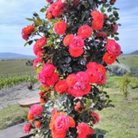 Pomaia, Italië: Beautiful roses in SATOR Winery...