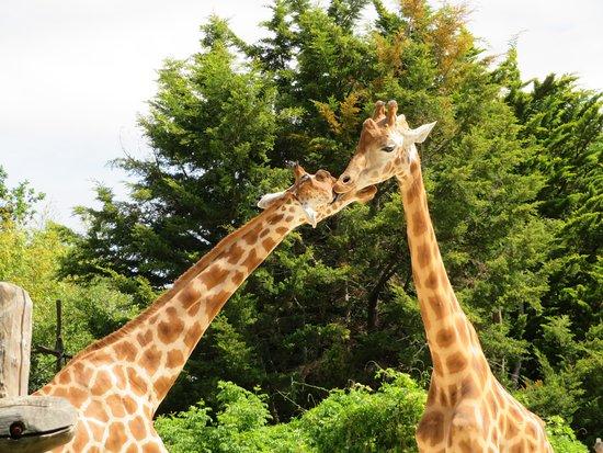 La Fleche, Frankrijk: Girafes