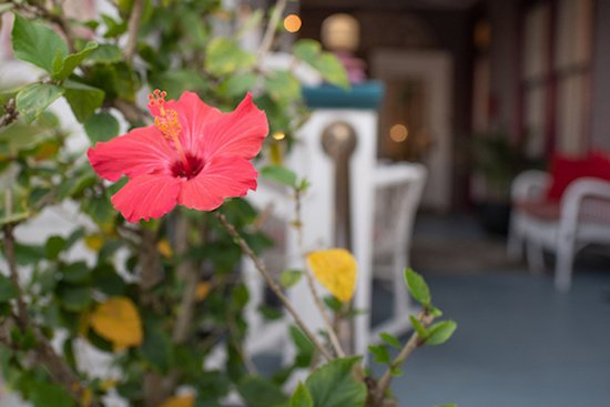 The Old Powder House Inn: Our hibiscus bush in bloom