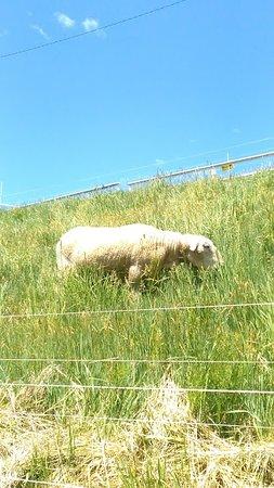 Otaru  Aquarium: 水族館屋外の羊