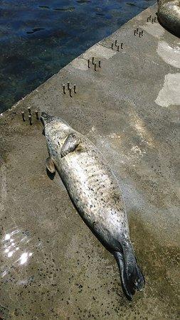 Otaru  Aquarium: 海獣公園のアザラシ