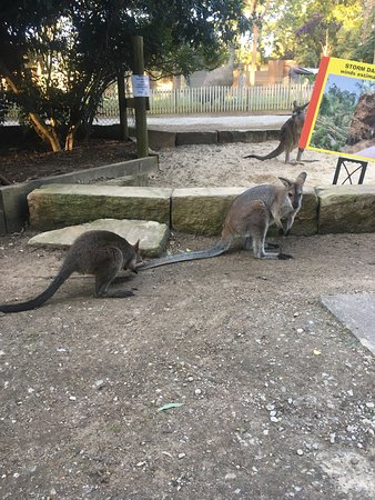 Koala Park Sanctuary: Kanagroos