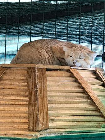 Mini 'S' Exotic Zoo: Beautiful Sand Cat Relaxing