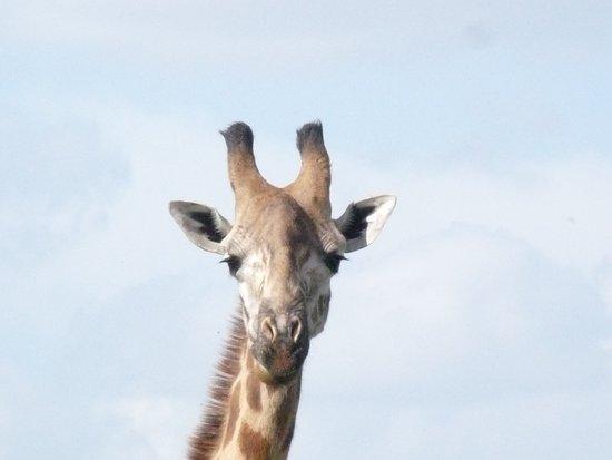 ConQuest Adventures Ltd: Giraffe
