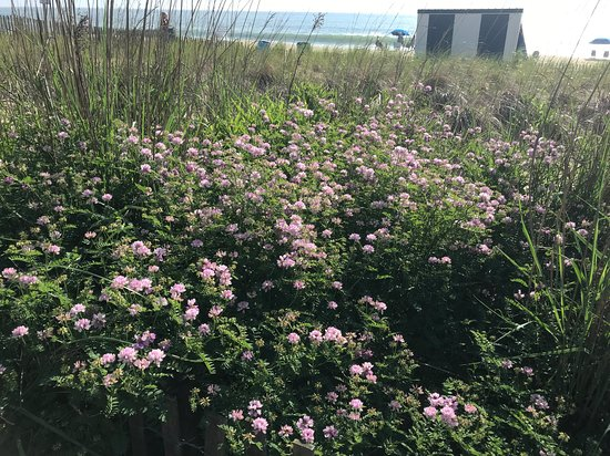 Flowers At Edge Of Boardwalk May 2019 Picture