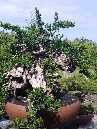 All about art of bonsai at baliakahbonsai klungkung