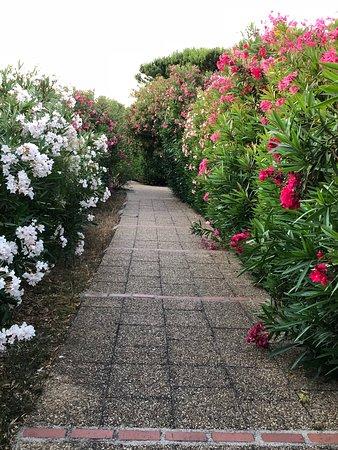 Lauriers blancs et rose qui bordent les allées piétonnes