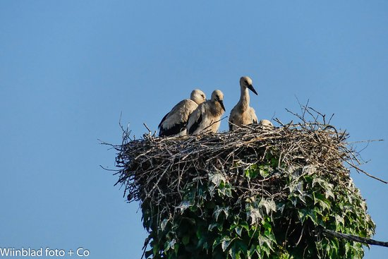 Storke i Battenheim, Frankrig