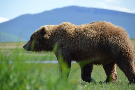 Flightseeing Tour and Wilderness Bear Viewing in an Alaska National Park: maybe 30 yards away